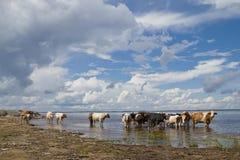 Vaches à l'arrosage Image stock