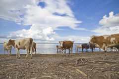 Vaches à l'arrosage Photo stock