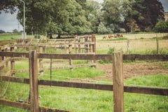 Vaches à l'intérieur de la barrière Images stock