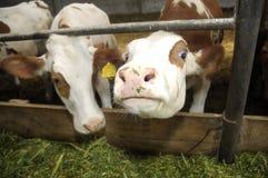 Vaches à la ferme d'animaux image libre de droits