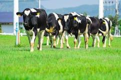 Vaches à lait Image libre de droits