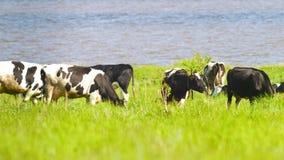 Vaches à lait frôlant sur un pré vert dans le jour ensoleillé clips vidéos