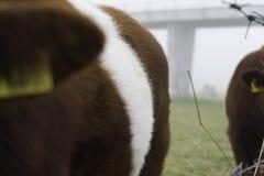 Vaches à Lakenvelder Images libres de droits