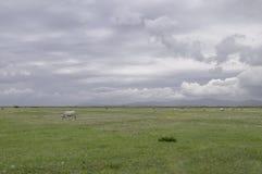 Vaches à Maremma Images stock