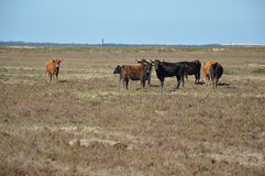 Vaches à Marismeñas Photo libre de droits
