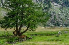 Vaches à montagne Photographie stock