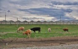 Vaches à pâturage Photographie stock libre de droits