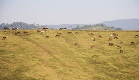 Vaches à paysage frôlant sur la colline Photos libres de droits