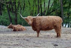 Vaches à race de boeuf Image libre de droits