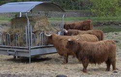 Vaches à race de boeuf Photos libres de droits