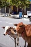Vaches à rue Photographie stock libre de droits