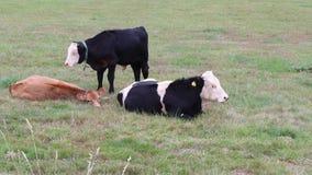 Vaches à sommeil sur le pâturage photographie stock libre de droits