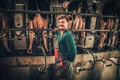 Vaches à traite amicales d'agriculteur à l'exploitation laitière photo libre de droits
