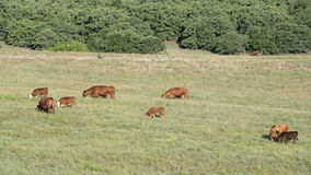 Vaches à troupeau frôlant dans l'Oklahoma Photo libre de droits