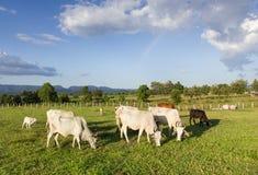 Vaches à troupeaux mangeant l'herbe Image stock