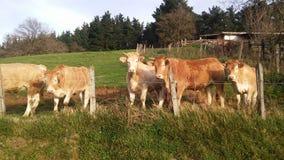 Vaches à tueur photos libres de droits