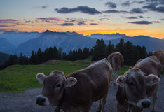 Vaches à Tyrolian au crépuscule sur une crête de montagne Image libre de droits