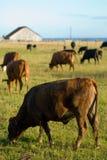 Vaches à vue d'océan Image stock
