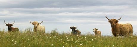 Vaches écossaises dans la terre Île de Skye l'ecosse LE R-U Image libre de droits