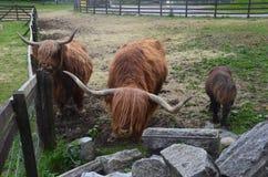 Vaches écossaises et un poney Images stock