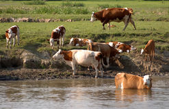 Vaches 01 Images stock