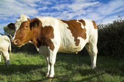 Vaches Image stock