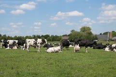 Vaches photos stock