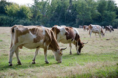 Vaches Photographie stock