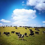 Vaches Photos stock