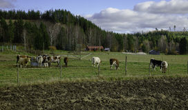 vaches Photo libre de droits