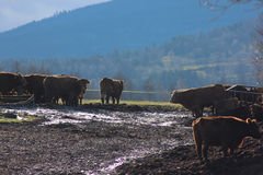 vaches images stock