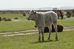 vaches Photos libres de droits
