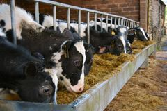 vaches alimentant la cuvette en métal Image libre de droits