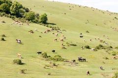 Vaches alimentant sur le pré écologique en Roumanie Photographie stock
