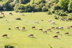 Vaches alimentant sur le pré écologique en Roumanie Photographie stock libre de droits