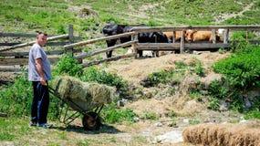 Vaches alimentantes à fermier photographie stock