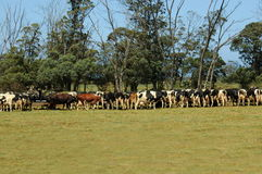 Vaches alimentantes Images stock