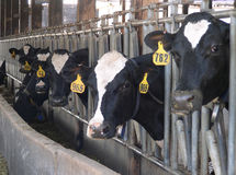 Vaches alimentantes Image stock
