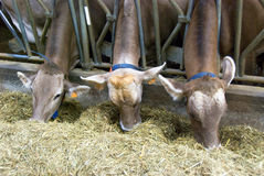 Vaches alimentantes Images libres de droits