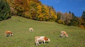 Vaches alpestres Images libres de droits