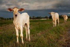 Vaches au Cambodge Photographie stock