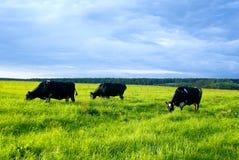 Vaches au pâturage Photo stock