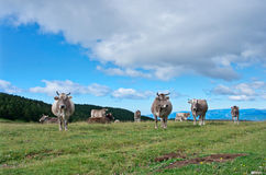 Vaches au pré en été, Pyrénées Photographie stock libre de droits
