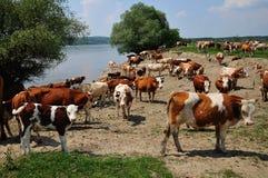 Vaches au trou d'arrosage images stock
