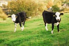 Vaches aux paires o dans un domaine Image stock