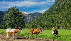 Vaches avec des cloches et coiffes dans la vallée image libre de droits