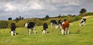 Vaches avec les impaires à l'extérieur Images libres de droits