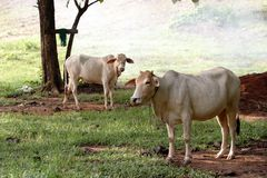 Vaches blanches Photos stock