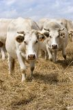 Vaches blanches Images stock