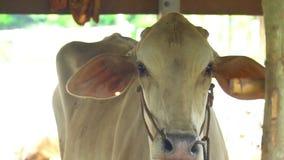 Vaches blanches dans la ferme banque de vidéos